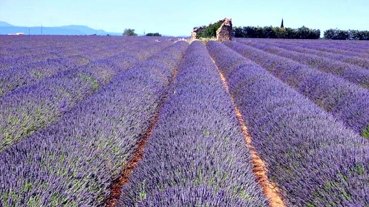 photo, image, lavender field, valensole, france