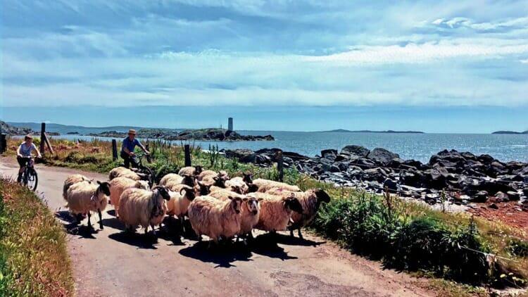 photo, image, sheep, inishbofin island, galway, ireland
