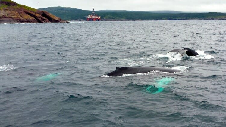 photo, image, whales, solo in newfoundland