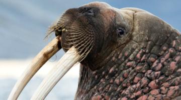 photo, image, walrus, best solo travel memories