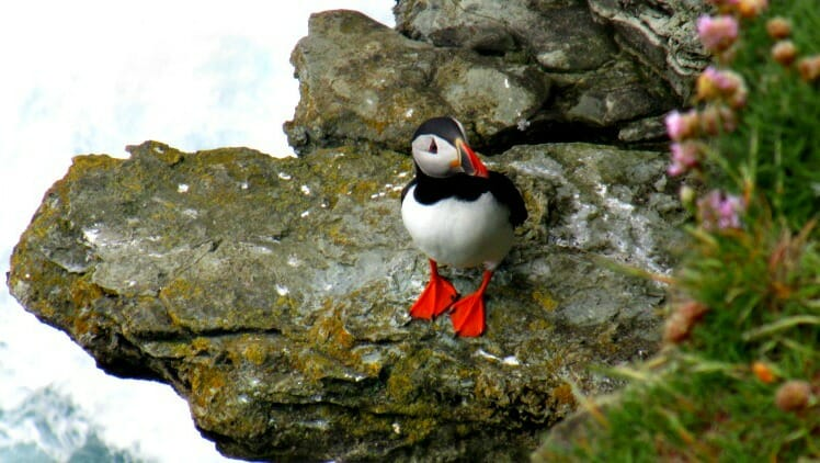photo, image, puffin, north coast 500, scotland