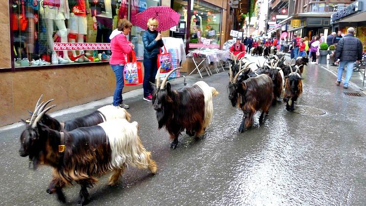 photo, image, goats, zermatt, switzerland