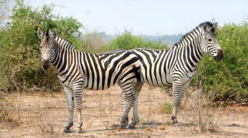 Pic of the Week: Meeting Zebras in Botswana