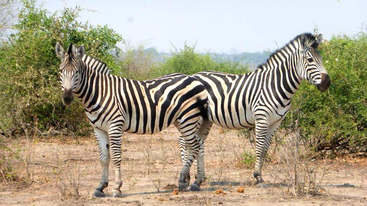 photo, image, zebras, chobe national park, botswana