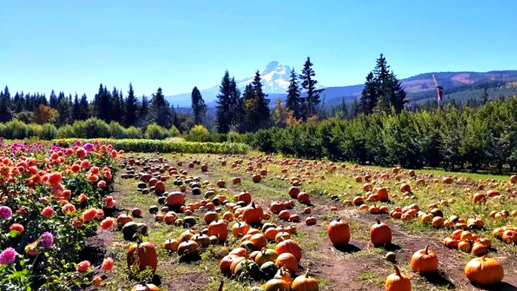 photo, image, pumpkins, hood river, oregon