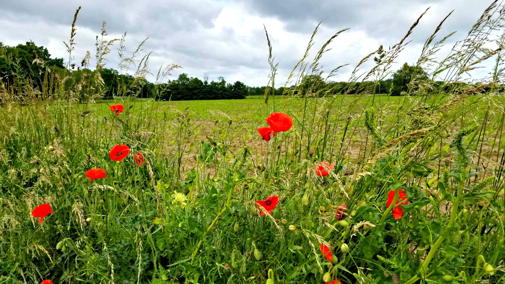 photo, image, poppies, auvers-sur-oises