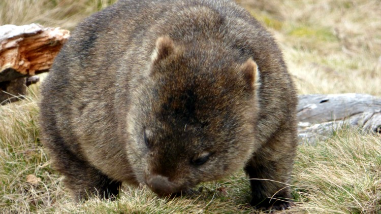 photo, image, wombat, solo australia road trip