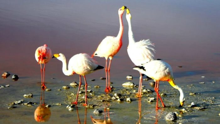 flamingos, solo travel in bolivia